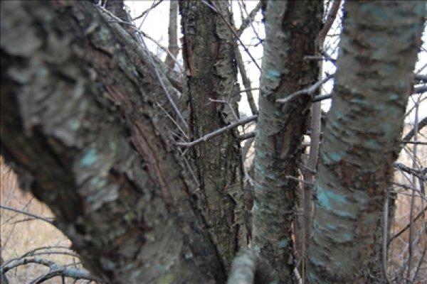 buckthorn-bark