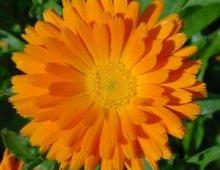 calendula-flowers