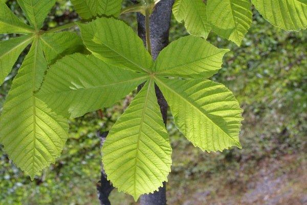 chestnut-leaf