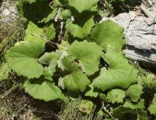coltsfoot-leaf