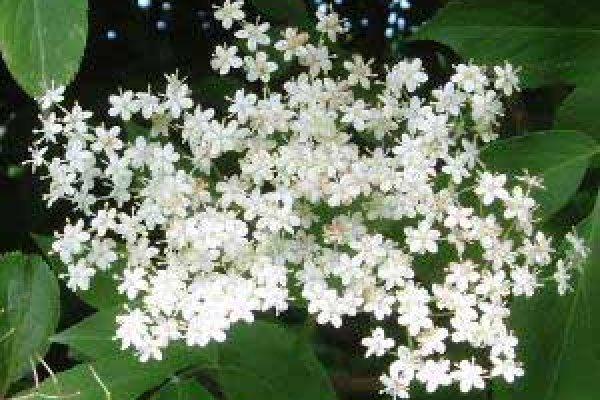elder-flowers