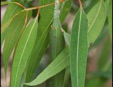eucalyptus-leaf