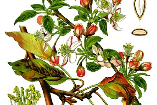 european-wild-apple-sliced