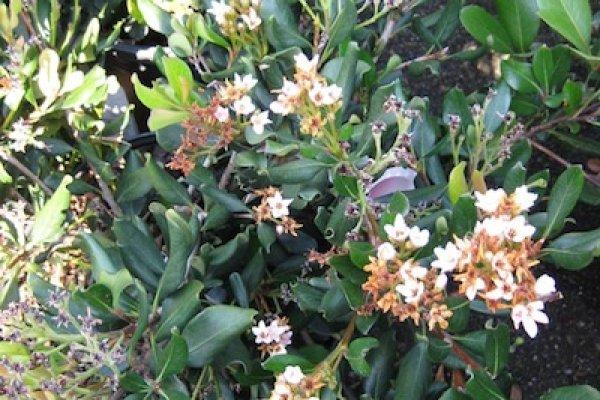 hawthorn-leaf-flowers