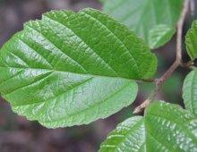 hazelnut-leaf