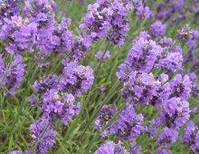 lavender-flowers
