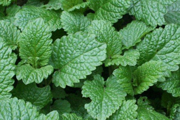 lemon-balm-leaf