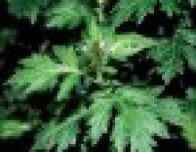 mugwort-herb
