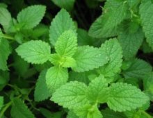 peppermint-leaf