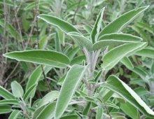 sage-leaf-dalmatian