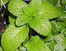 spearmint-leaf