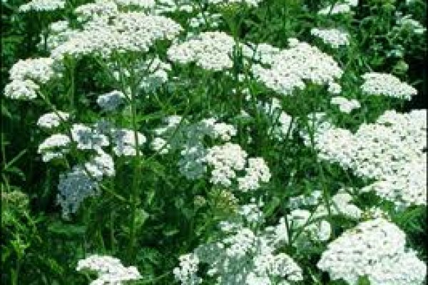 yarrow-herb